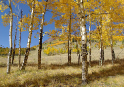 Aspen grove and campsite in Mineral County (photo by Bob Seago)