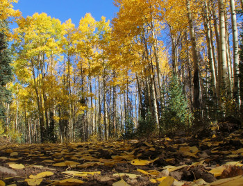 Aspens on Gold Bar Road in Mineral County (photo by Bob Seago)